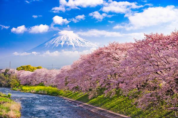 Sakura cerezos en flor en Japón, dónde viajar en marzo