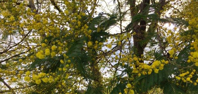 De mimosa staat in bloei