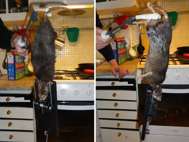 Even after the huge rat was caught by the neck, the resilient rodent continued to run around until it finally died. - Justus Bengtsson-Korsas / Facebook