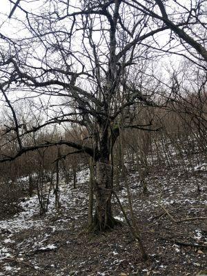 Ein kahler Baum im Wald
