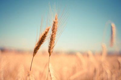 Caña de trigo