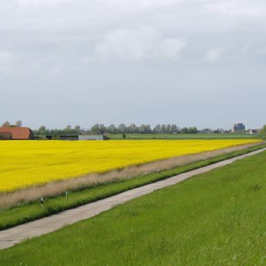 Rapsblüte Wangerland