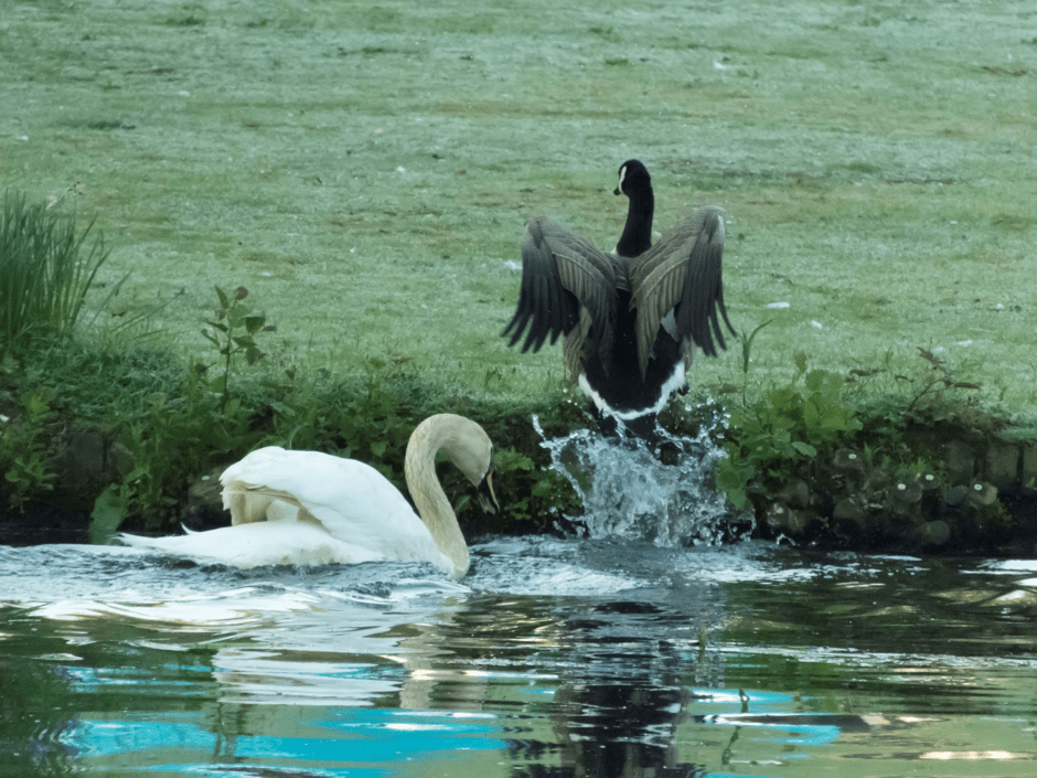 The swan chases off a Canada goose