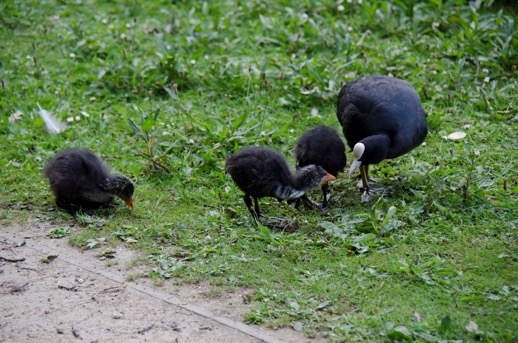 Three baby coots, with parent