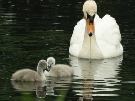 Cygnets with mother Swan