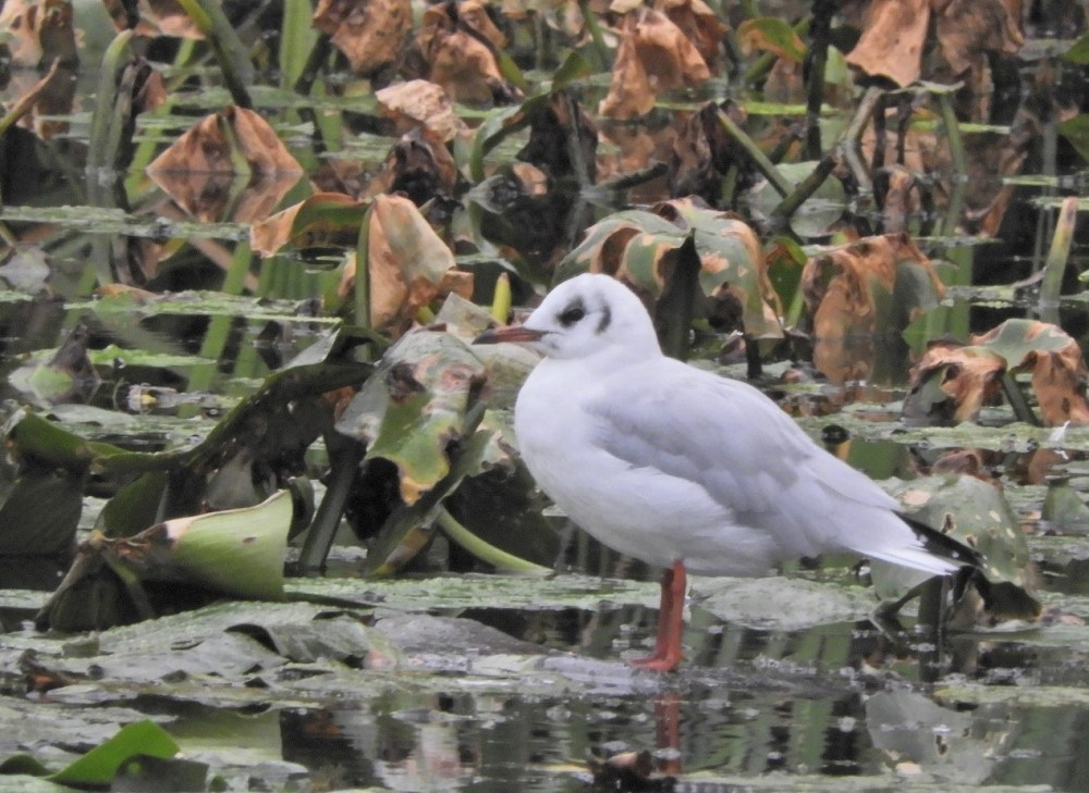 Blackheaded Gull on Froebel Lake
