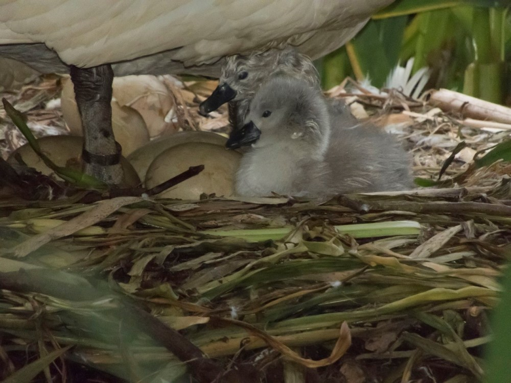 Newly-hatched cygnets