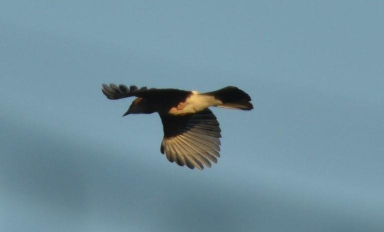 Jay in flight