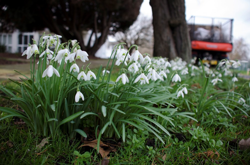 Snowdrops at Froebel
