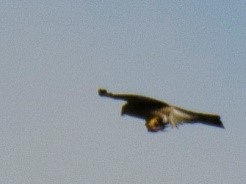 Peregrine Falcon over Froebel College