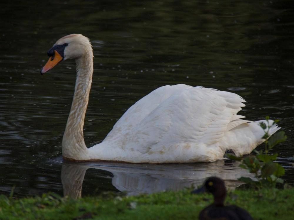 Pen swimming on Froebel lake, having abandoned the nest