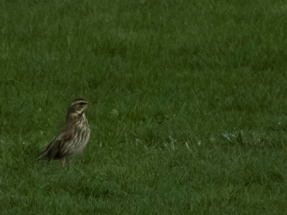 Redwing on the playing field