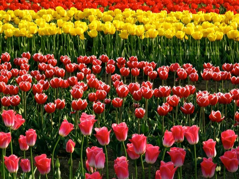 April Tulips, Tongyeong - Canon G10 (ISO 200)
