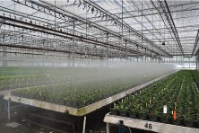 A computer controls when mist sprays on young poinsettia plants.