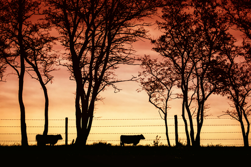 Cattle in a field with Sunset in the background