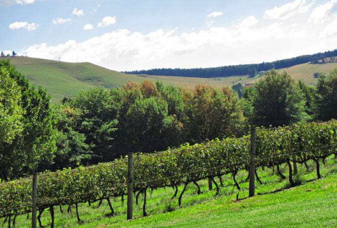 Vineyards in the Natal Midlands