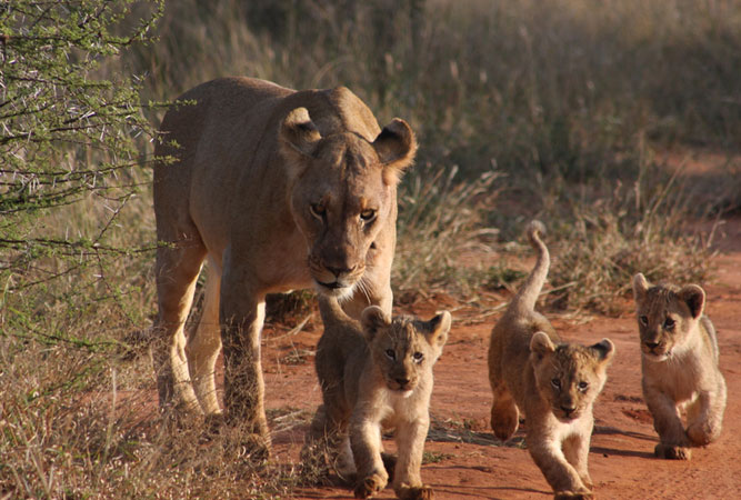 Lioness and cubs at Pilanesberg