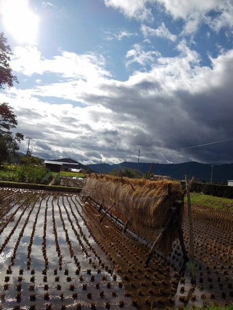 台風一過。遠野の田んぼは既に稲が刈りとられて。