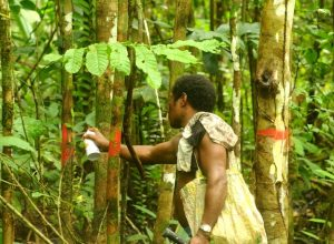 Dapatkah Negara Bersinergi dengan Adat untuk Kelola Hutan di Biak