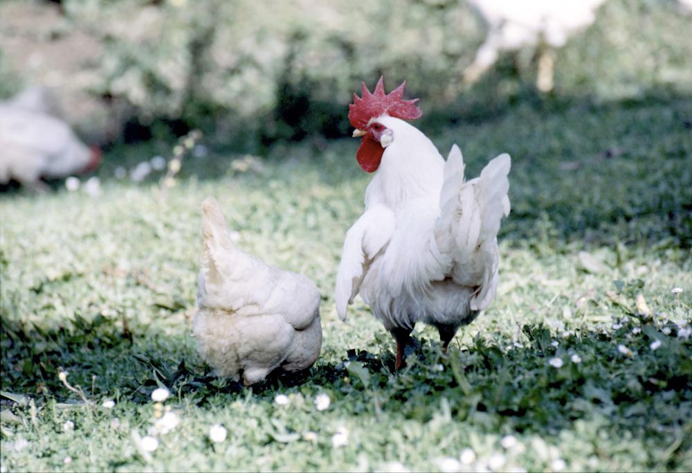 polli dell'allevamento Paolo Parisi al pascolo