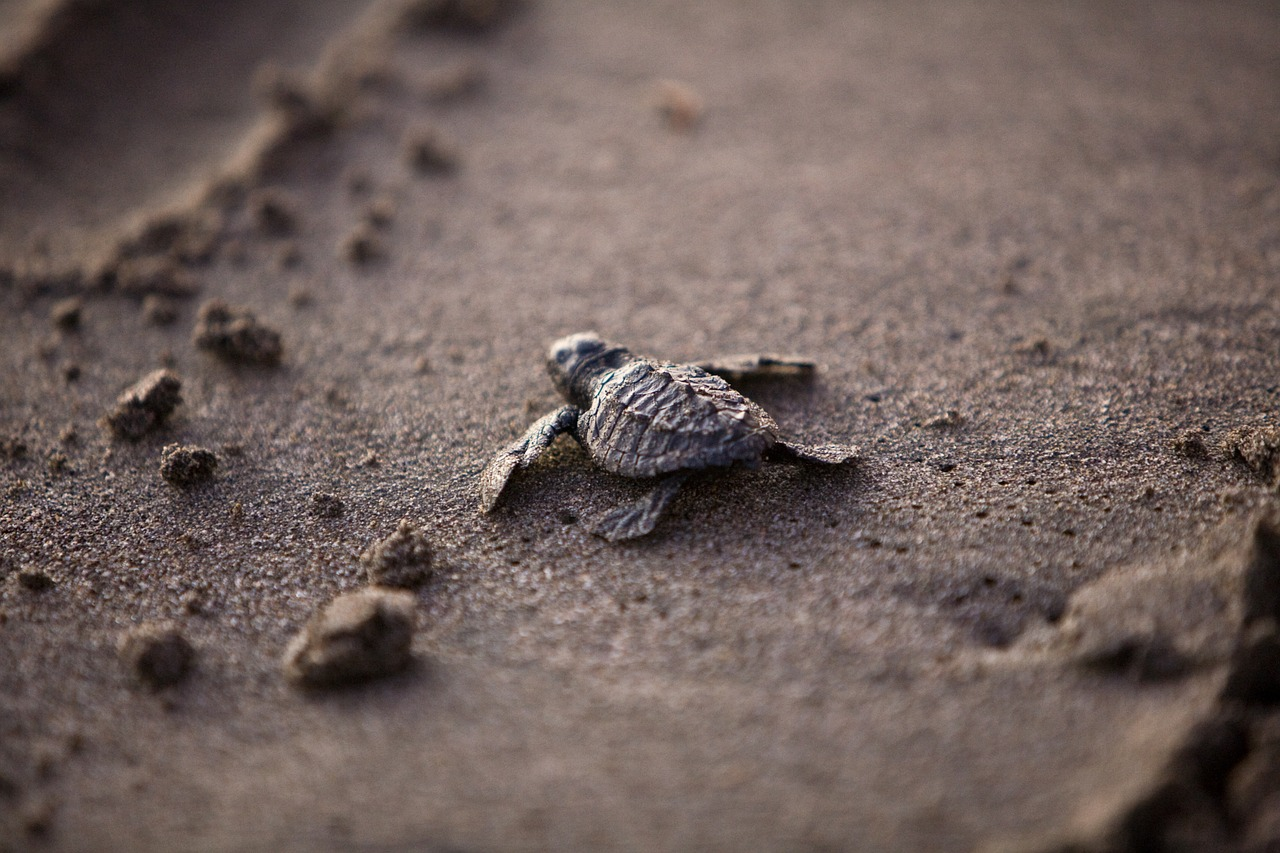 baby sea turtle in sarasota