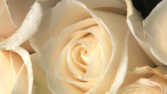 Odin Milieu Rosa white roses