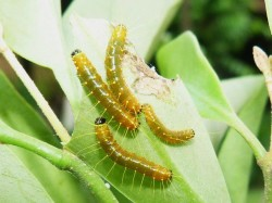 Jezebel (caterpillars)