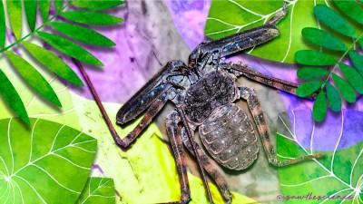 Weird, Wild, Wonderful: Arachnids in Singapore
