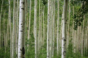 Aspen_trees_2