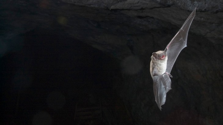 """Myotis lucifugus in flight"" – Little brown myotis (Photo by Brock Fenton)"