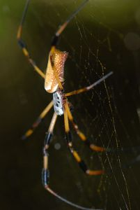 large golden spider hanging in a web
