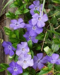 Vinca: common blue periwinkle. Photo © Patrick Standish CC BY 2.0