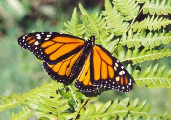 monarch-butterfly-by-NCC