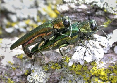 Emerald-ash-borer-by-David-Cappaert-Bugwood-dot-org-CC-BY-NC
