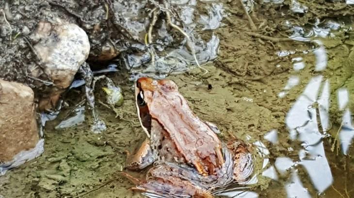 Wood frog- NCC