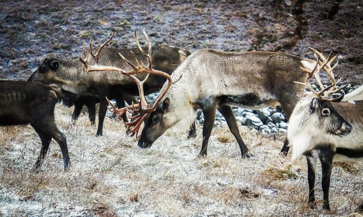 Reindeer in the Cairngorms - photo by Andrew Palmer