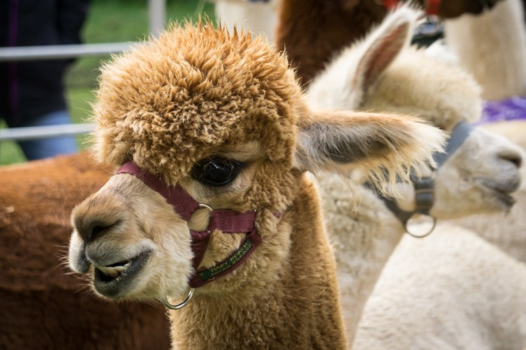 Happy alpaca (credit and copyright: Velvet Hall Alpacas)
