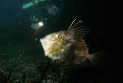 John Dory on Night Dive on 31st October