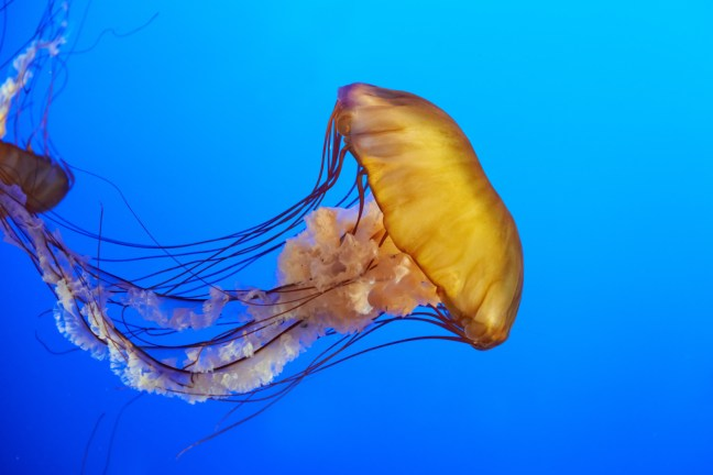 Jellyfish live in the ocean. Know your beach safety in case you are stung.