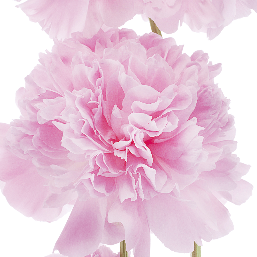 January Birth Flower Carnations Pollen Nation