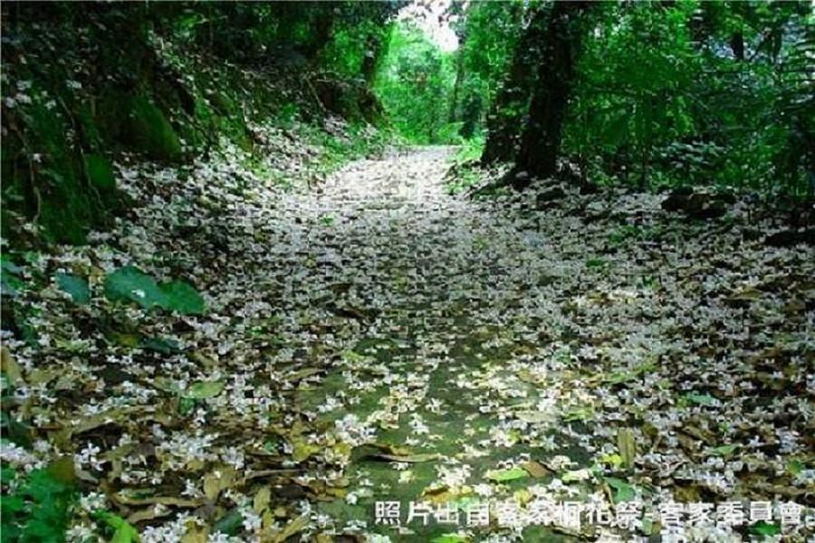 鹿寮坑桐花步道|東南旅遊