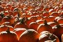 pumpkins-bg-thumb.jpg