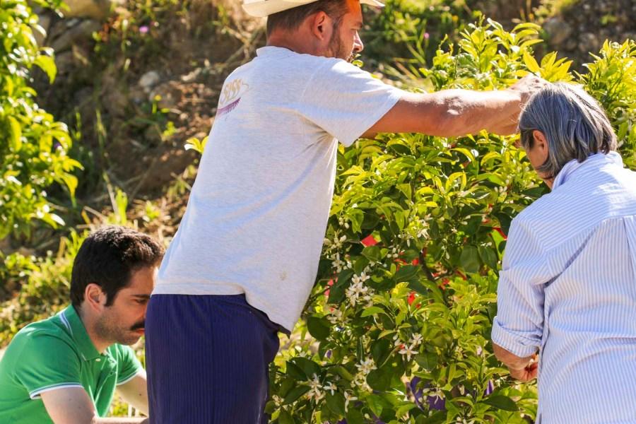 Cueilleurs de fleur d'oranger, en Italie