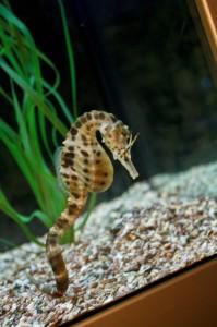 Seepferdchen Aquarium Legoland Billund