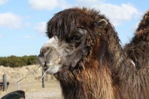 Kamel Zoo Blavand