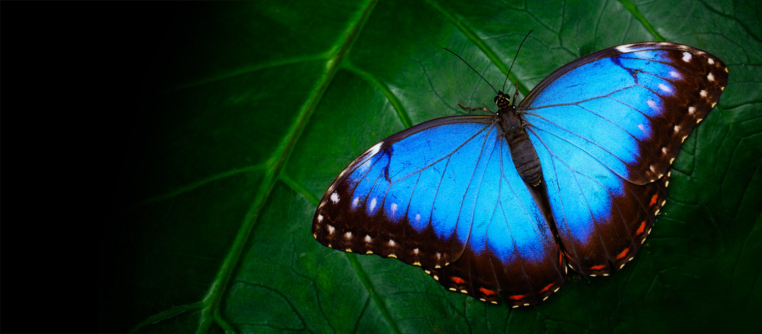 Butterfly Symbolism and Meaning in World Culture | Shop LC