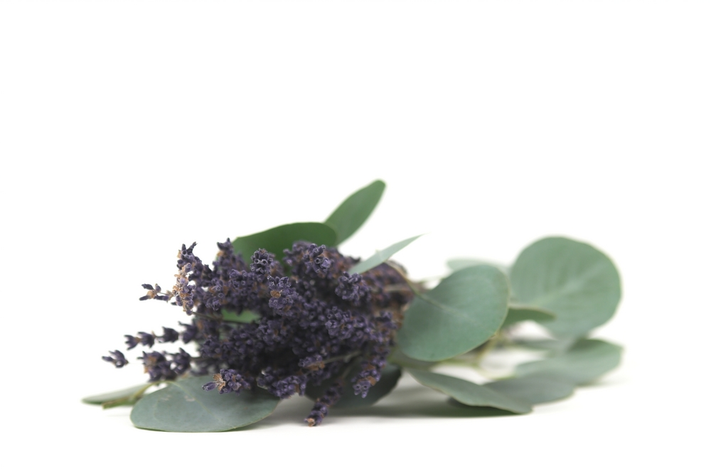 Lavender plant against white background