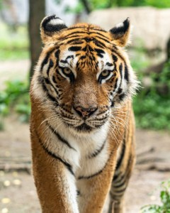 THE END OF THE TIGER?