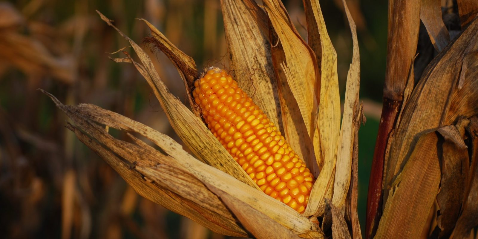 Ukraine's bumper corn crop to pressure U.S. exports business