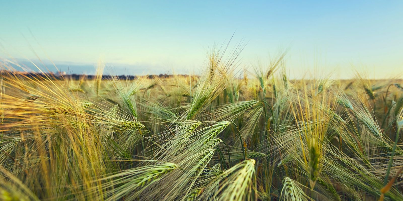 SovEcon upped Russian wheat crop forecast; first winter barley yields in Russian South are great